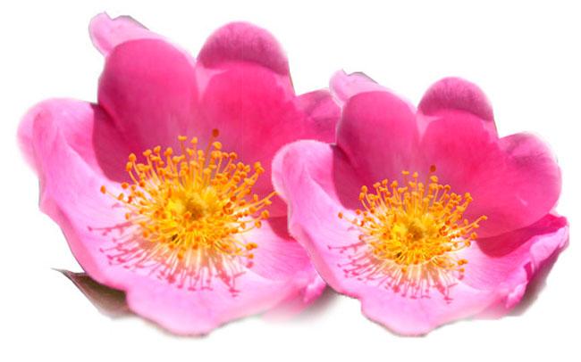 ¿Cómo usar los aceites de Rosa Mosqueta?